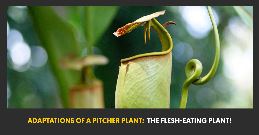 Adaptations Of A Pitcher Plant: The Flesh-Eating Plant!